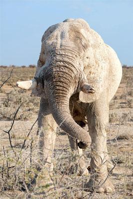 Etosha - Eléphants 07
