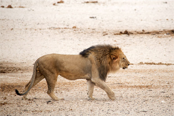 Etosha - Lions 19