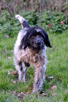 DANDY - griffon 11 ans (10 ans de refuge)    - Refuge Animalier de Brax (47) Image