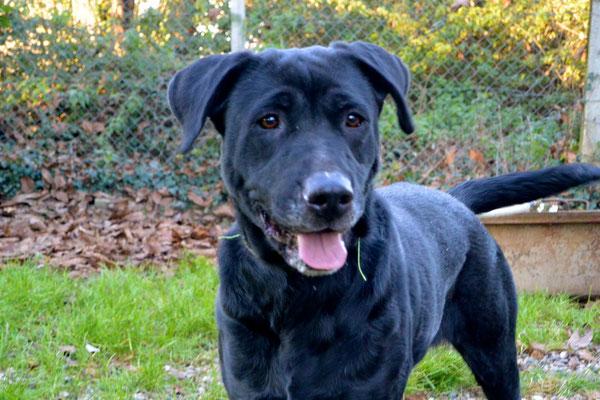 TANGA - labrador 9 ans  (6 ans de refuge)- Refuge Animalier de Brax (47) Image
