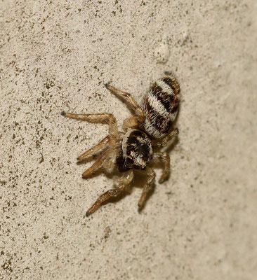 Zebraspingspinne an Hauswand (NABU/C. Pusch)