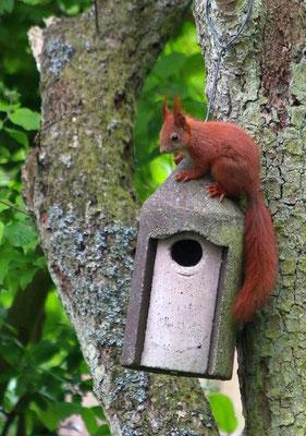 Eichhörnchen am Nistkasten (NABU/C. Pusch)