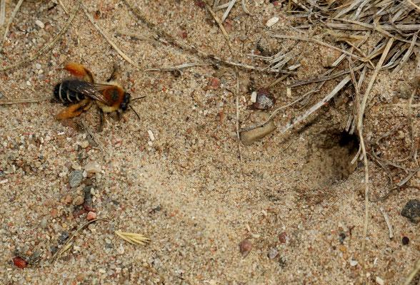 Weibliche Hosenbiene (NABU/C. Pusch)