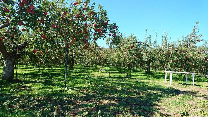 松川町 りんご狩り 竹村農園