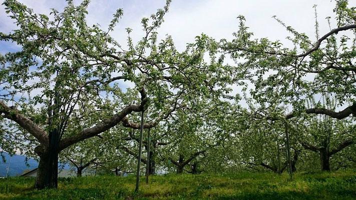 りんご 花見