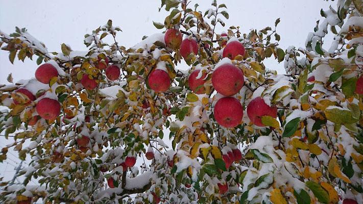 りんご 雪化粧