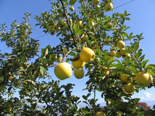 リンゴ狩り シナノゴールド 松川町
