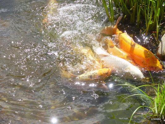 Unruhe im Teich während der Laichzeit