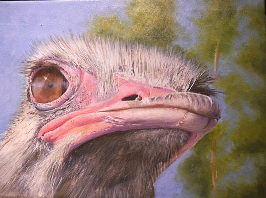 Struisvogel, Frans Boers