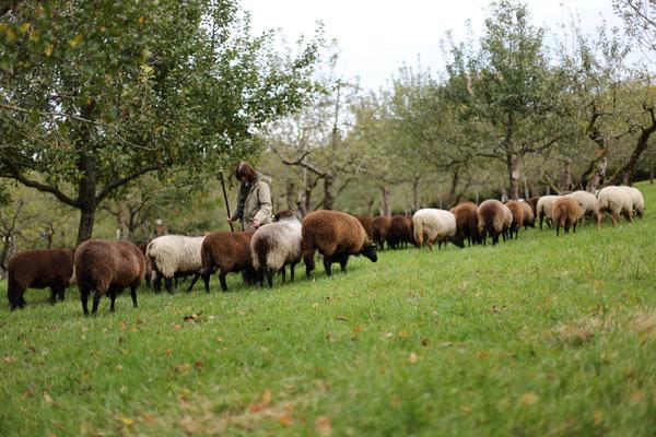 Die Schafherde ist da! Beim Apfelfest 2017