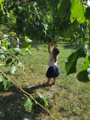 Süße Zwetschgen direkt vom Baum naschen - paradiesisch!