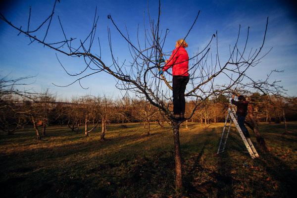 Obstbaumschnitt im Winter