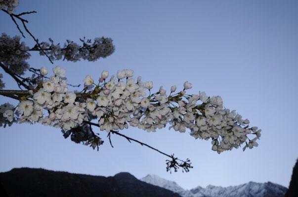 Kirschblüte in Monjo ©R.Dujmovits