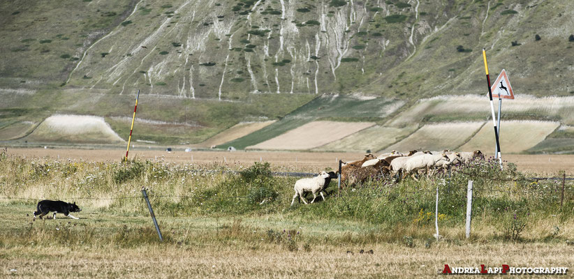 Cane da pastore con gregge