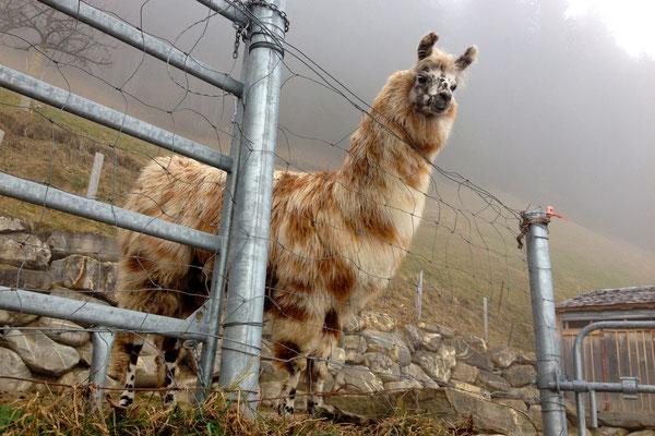 Lamas auf dem Höhenweg Adelboden.