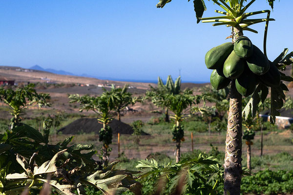 green papaya tree with a lovely blue ocean view fuerteventura