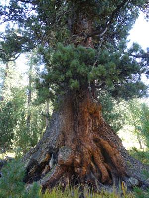 Arvenbaum