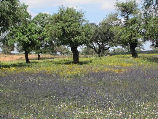 Korkeichen an der Algarve