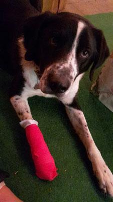 Erste Hilfe beim Hund - Nero und der Pfotenverband