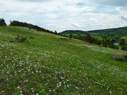 Anemone sylvestris (Großes Windröschen) auf Kalkhalbtrockenrasen