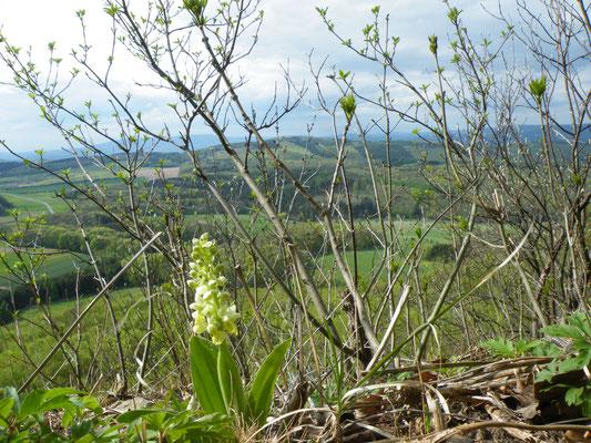 Orchis pallens auf Abbruchkante der Rabenklippen