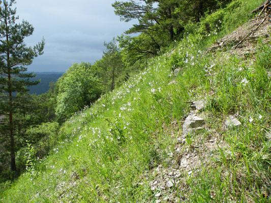 Bergsturz Erbberg mit  Anthericum liliago (Traubige Graslilie)