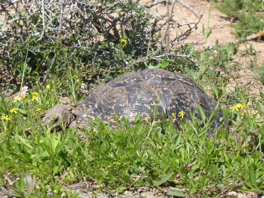 Pantherschildkröte