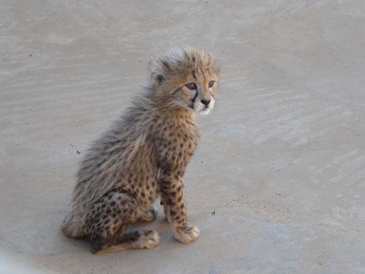 Babygepard