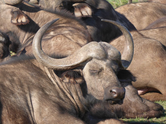 schlafender Büffel in einer größeren Herde