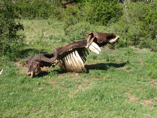 überreste eines von Löwen erlegten Büffels
