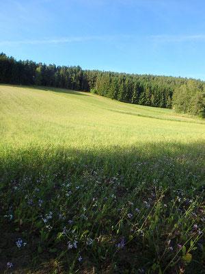 Feld mit Radieschen für Keimlingsgläser