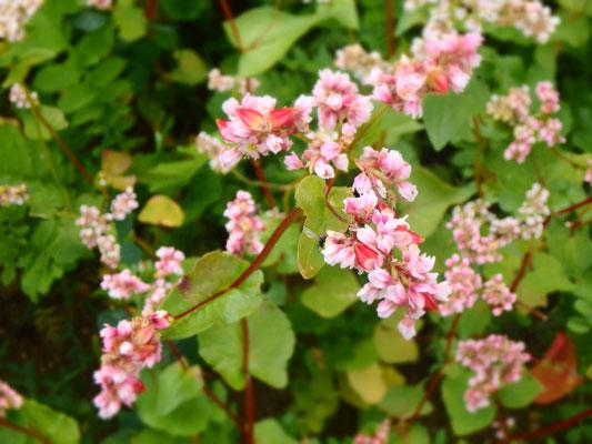 Bockshornklee Blüte