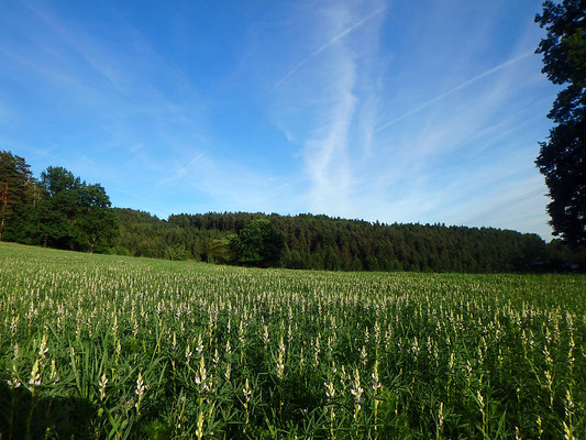 Blühendes Lupinenfeld