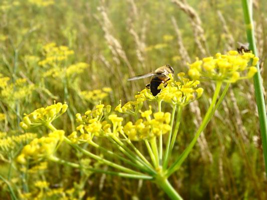 Fenchelblüte mit Fliege