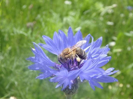 Besuch von der Biene