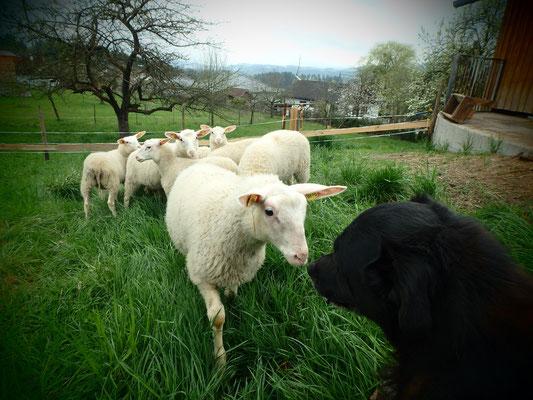 Schaf sagt Hallo zu Maxi