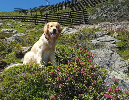 In den Alpenrosen... es waren schöne Tage im Gebiet Ried Servaus Ladis und Fiss
