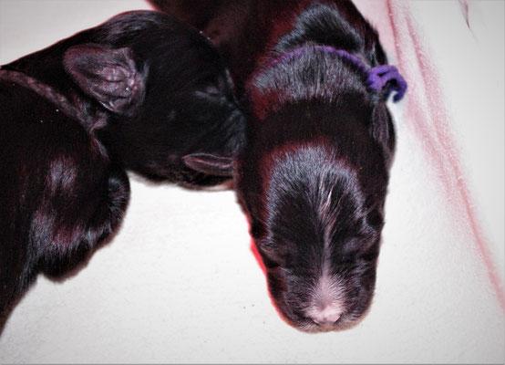 violette Weibchen