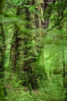 Buchen Urwald im Fjordland Nationalpark
