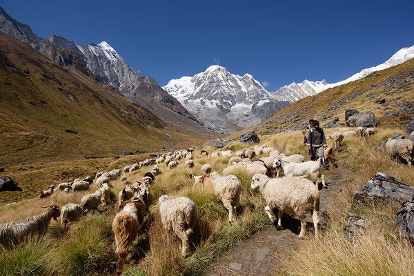Schafherde mit Annapurna South