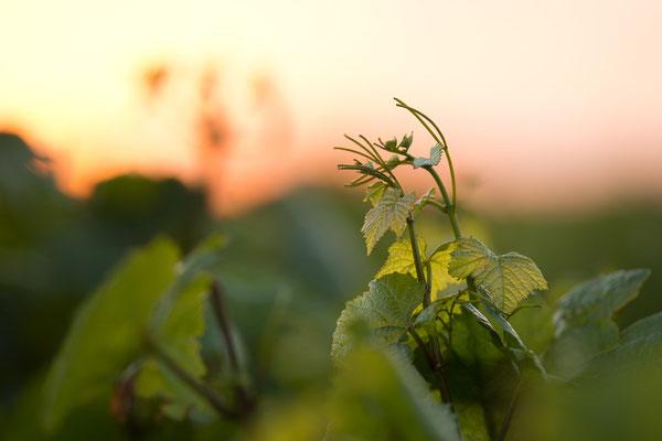 Weinstock in der Abendsonne