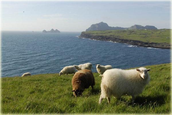 Schafe auf Heimaey
