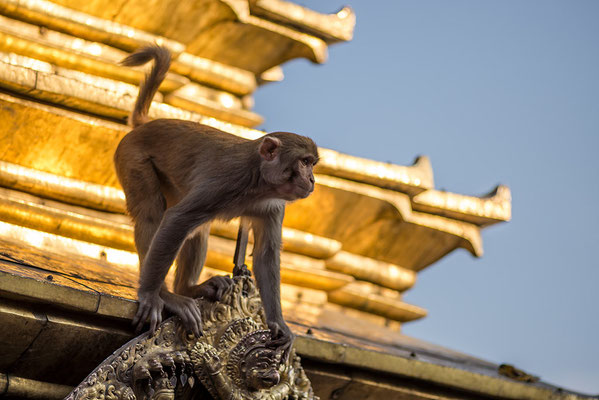 Affe in Swyambhunath
