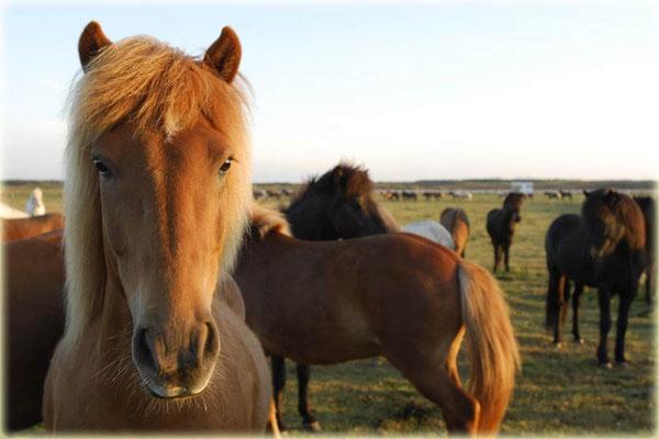 Islandpferde bei Kevlavik