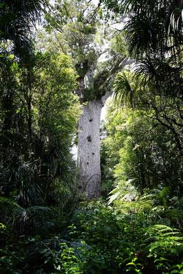 Tane Mahuta, 51m hoch und 2.000 Jahre alt