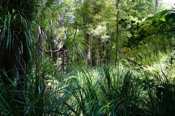 Die Kauri Wälder sind blickdicht gewachsen