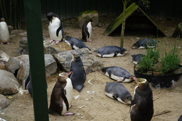 Pinguin Krankenhaus