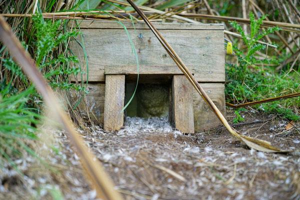 Nistplätze der Zwergpinguine