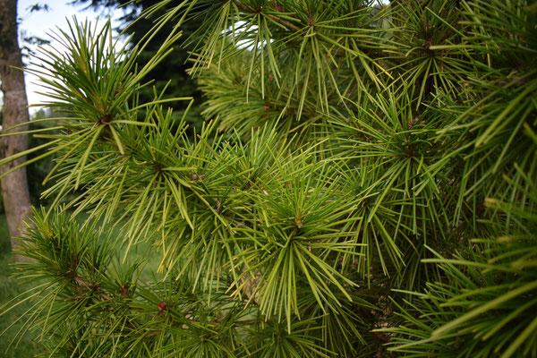 Schirmtanne - Tannenbaumplantage Wälchli Weihnachtsbäume Wäckerschwend