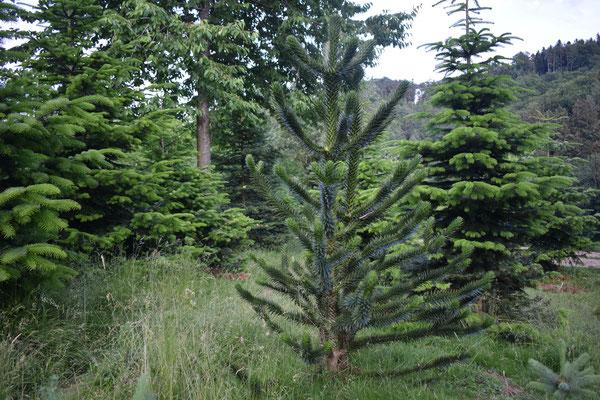 Andentanne - Tannenbaumplantage Wälchli Weihnachtsbäume Wäckerschwend